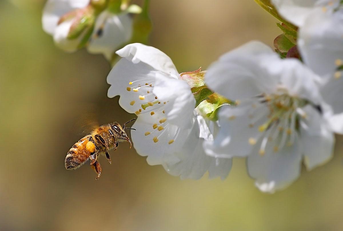Foto Di Alberi Da Frutto efa news - european food agency - ape su fiore di albero da